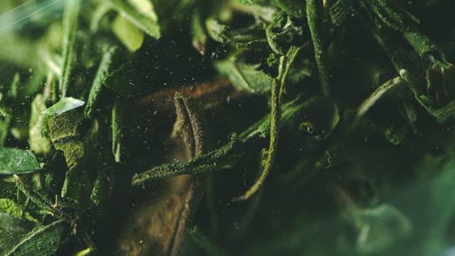 Preparing Homeopathic Medicine from Marijuana. Leafs close up