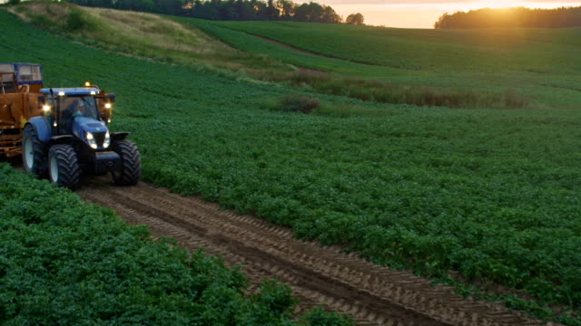 Preparing to harvest. Tractor moving on potato field. Sunset