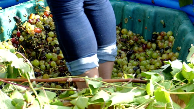 press grapes for wine production video