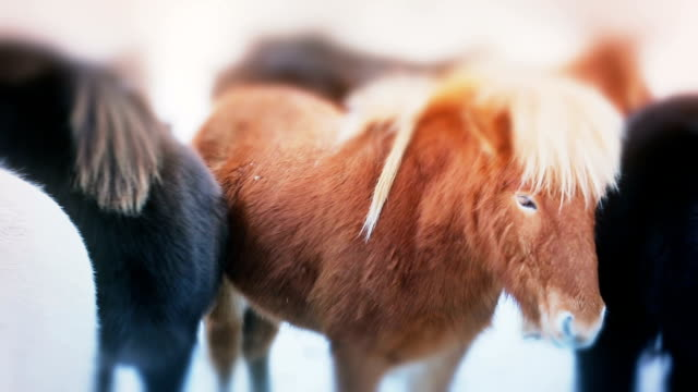 Pretty black and rufous Icelandic horses video
