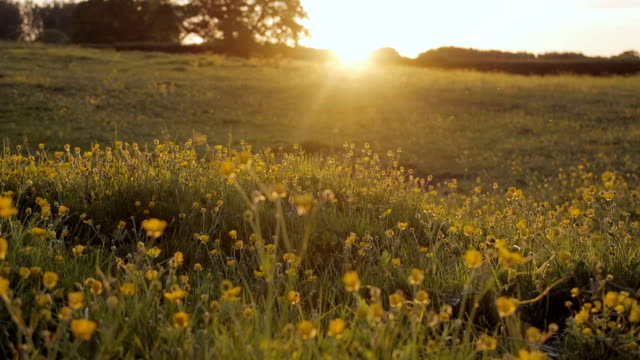 pretty buttercup meadow at sunset - england stock videos & royalty-free footage