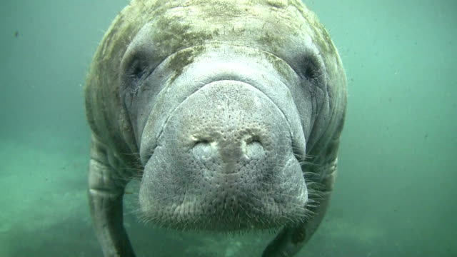 Pretty close up Manatee video