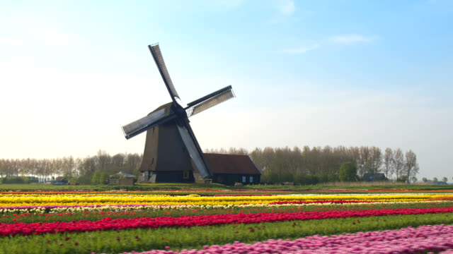 AERIAL: Pretty colorful blooming tulips in rows and old vintage wooden windmill video
