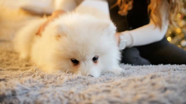 vídeos de stock e filmes b-roll de pretty girl playing with samoyed puppy dog indoors - samoiedo