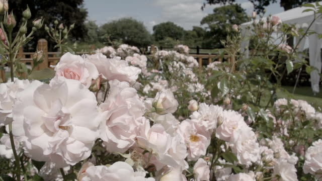 Pretty Rose Bushes In An English Garden video