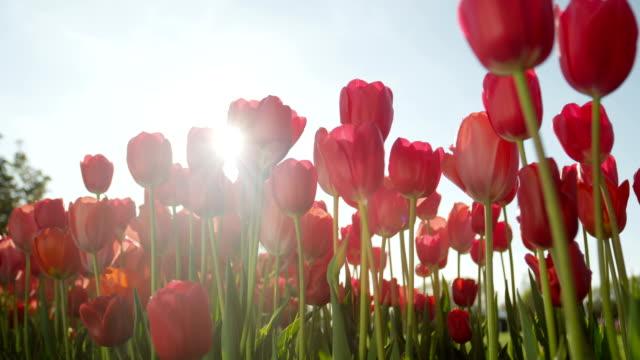 クローズ アップ非常に晴れた日に素晴らしい庭に咲くバラ色の赤い絹のようなチューリップ - チューリップ点の映像素材/bロール