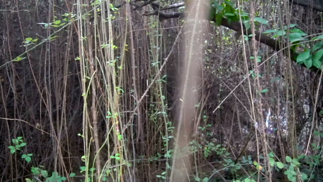 Prickly bushes of blackberry, vertically growing video