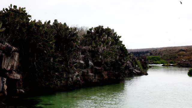 vídeos de stock, filmes e b-roll de cacto de pera espinhosa, crescendo em um precipício na ilha genovesa nas galápagos - ilha genovesa