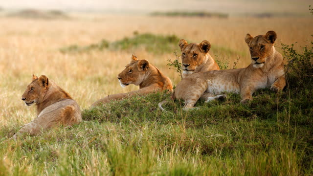 Pride of lions, Masai Mara National Park, Kenya video