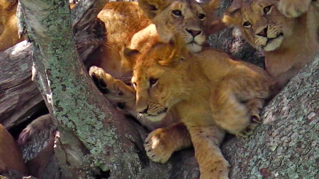 pride of lions on tree video
