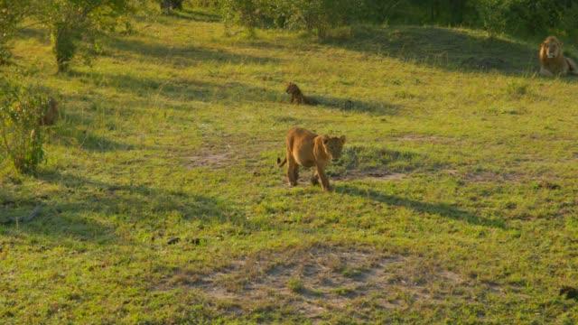 stockvideo's en b-roll-footage met een trots van maasai leeuwen bij maasai mara national reserve, kenia, afrika - leeuwin