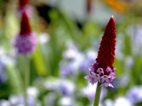 vídeos de stock, filmes e b-roll de pal: prímula vialii flores balançando ao vento (vídeo - flor temperada