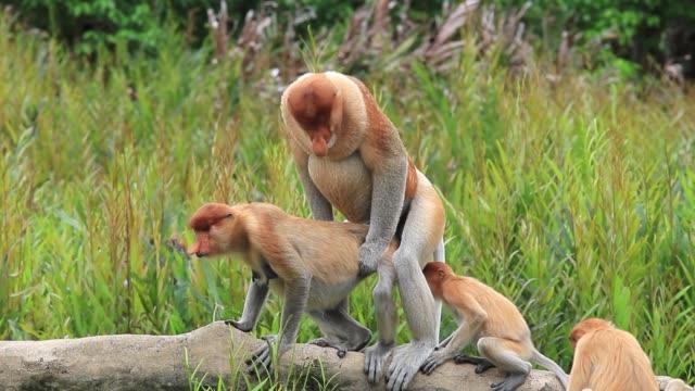 Proboscis Monkeys mating