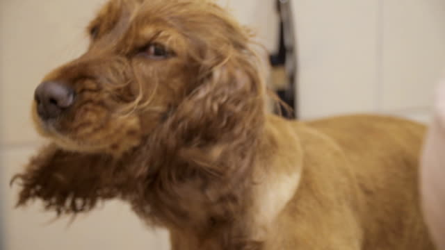 Process of drying fur of cocker spaniel video