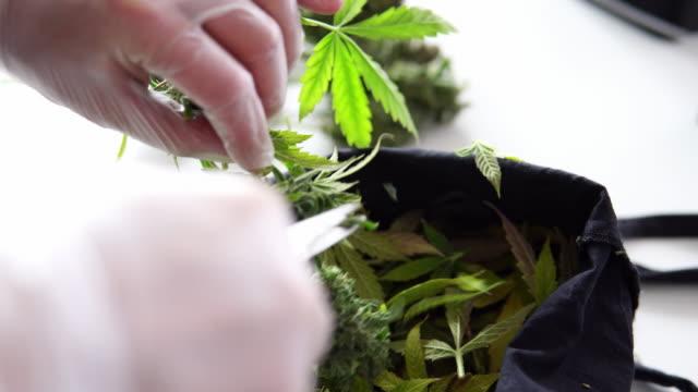 processen att trimma blommande marijuana knoppar i mans händer. färsk medicinsk cannabis skörd i närbild. 4k-kvalitet - thc bildbanksvideor och videomaterial från bakom kulisserna