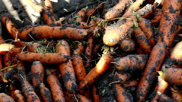 Processing of fresh carrots Mass production and harvest of carrot roots with modern agricultural machinery,video clip carrot stock videos & royalty-free footage