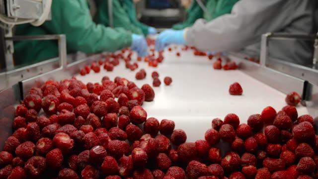 processing of strawberries on conveyor belt. harvest sorters - fragole video stock e b–roll