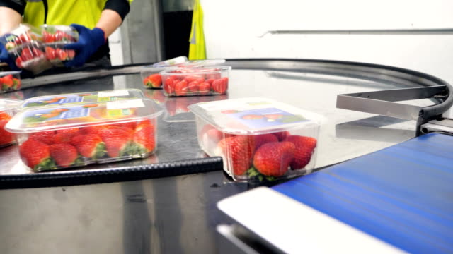production line packaging strawberry for market and supermarkets. - fragole video stock e b–roll