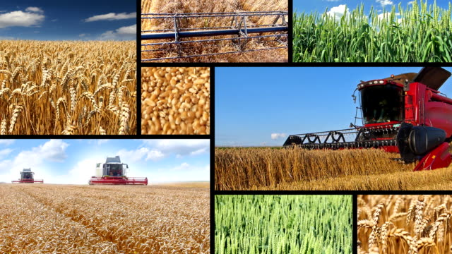 Production of wheat, collage video