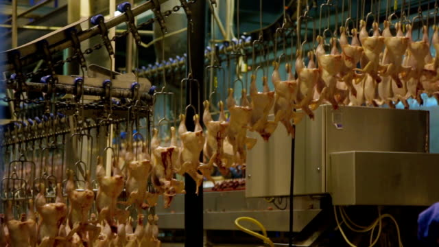 Production Process of Chickens in a Slaughterhouse video