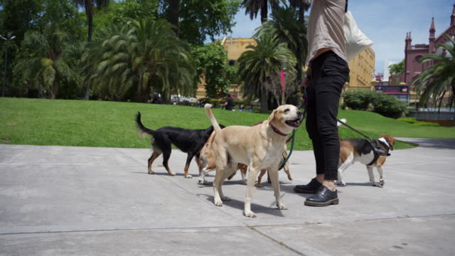 Professional dog walker and a playful group of dogs at a public park Professional dog walker walking a group of dogs outdoors in a public park. leash stock videos & royalty-free footage