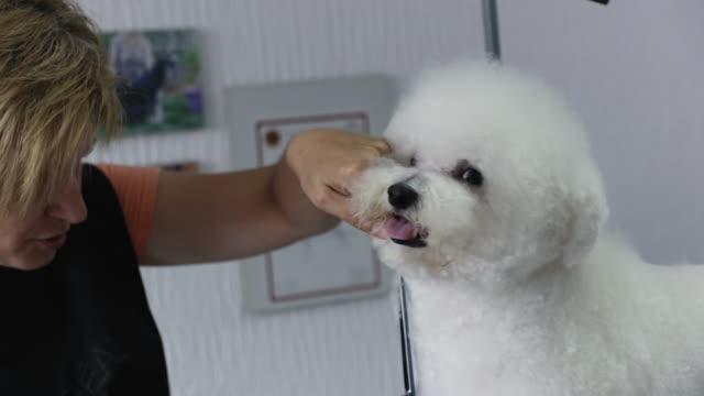 ペットグルーミングサロンでビションフライズ犬のためのヘアカットを行うプロのグルーマー - ビションフリーゼ点の映像素材/bロール