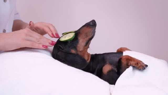 professional massage therapist strokes dog's head with fingers, dog dachshund, black and tan, relaxed from spa procedures on face with cucumber, covered with a towel - viziarsi video stock e b–roll