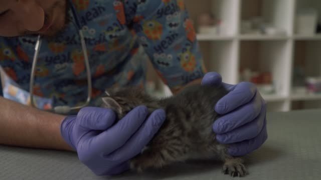Professional veterinarian examines the snout of a small kitten video