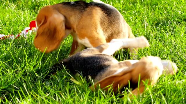 Profile of beagle dog. Slow motion