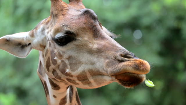 Profile of giraffe head chewing , slow motion