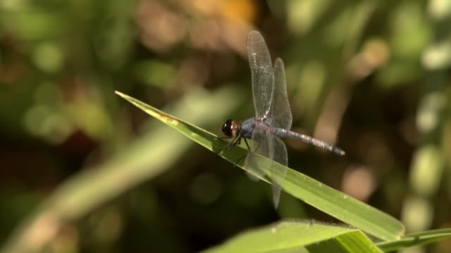 profile shot of beautiful blue dragonfly landing on blade of grass filmed in the wild with natural light - torace animale video stock e b–roll