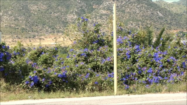Profusion of bright blue bindweed flowers