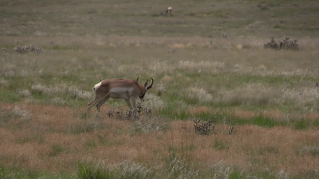 Pronghorn Antelope Buck video
