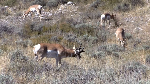Pronghorn Antelope Herd video