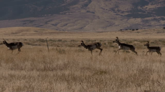 Pronghorn Antelope in Rut video