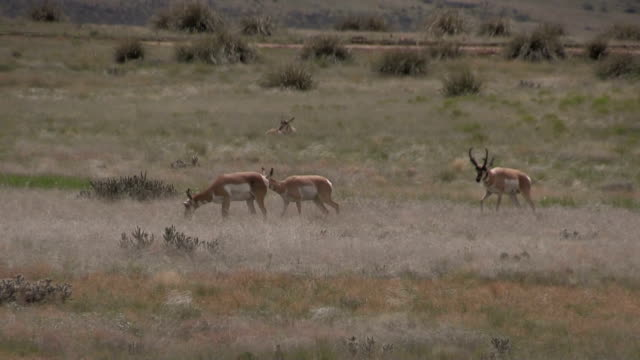 Pronghorns in Rut video
