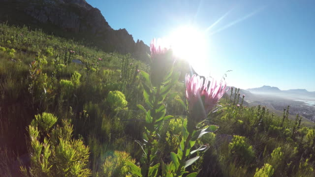Protea Flower in the wild against the sunlight Flower, Plant, Single Flower, Cape Town, South Africa Cape Town table mountain national park stock videos & royalty-free footage
