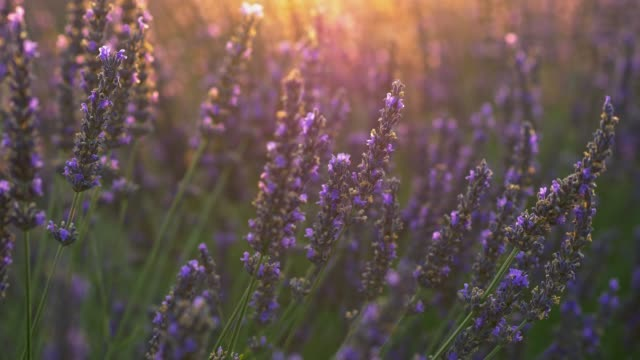 Provence, France. Purple lavender flowers shining in the setting sun rays. Close-up shot, UHD Provence, France. Purple lavender flowers shining in the setting sun rays. Close-up shot, UHD flowerbed stock videos & royalty-free footage