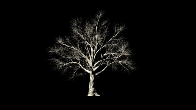 Prunus Tree timelapse growing, against black