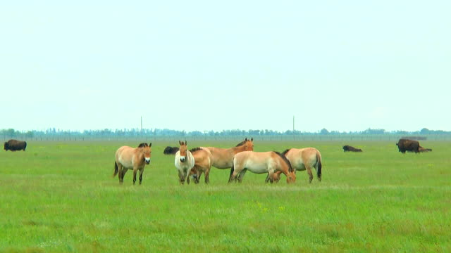 Przewalski's horses in the steppe. In the background you can see the bison video