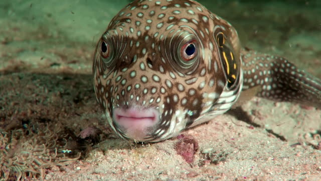 Puffer fish (Arothron stellatus) close-up. A Starry Pufferfish facing the camera at the bottom of the sea cleaner shrimp stock videos & royalty-free footage