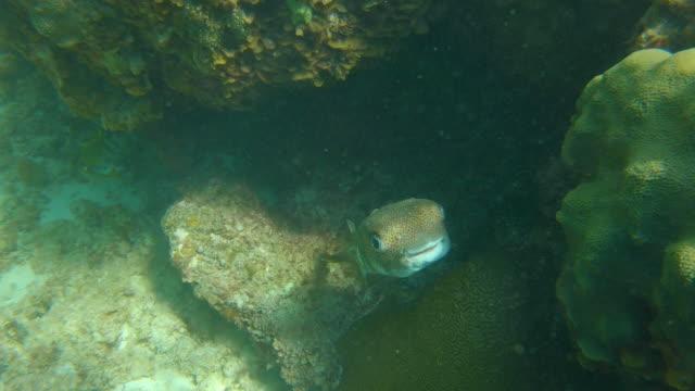 stockvideo's en b-roll-footage met kogelvissen onder water in tropische turken en caicos - providenciales