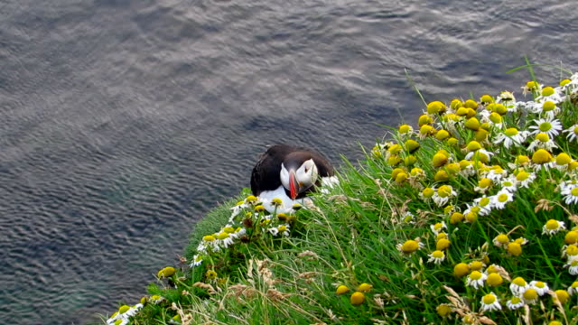 Puffin in the cliff with sea video