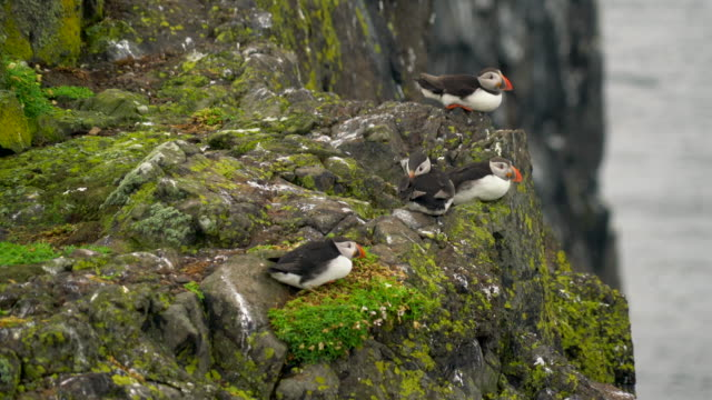 Puffins on the rock. Scotland