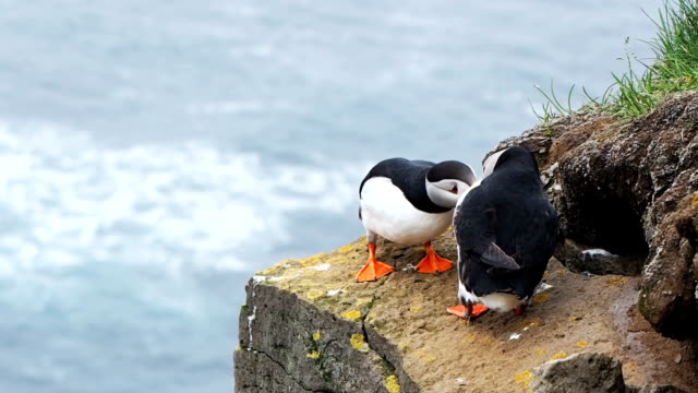 Puffins playing on the rock cliff