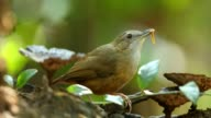 istock Puff-throated Babbler eating worm 940337762