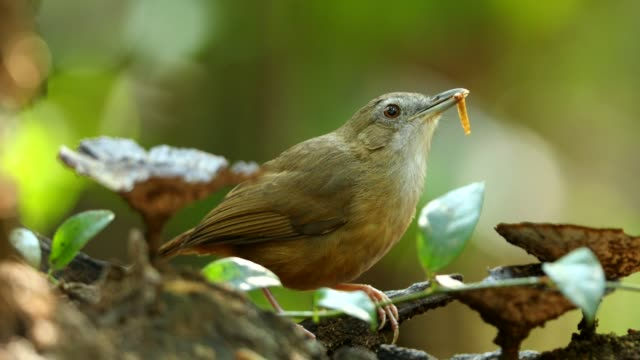 stockvideo's en b-roll-footage met bladerdeeg-throated babbler eten worm - worm