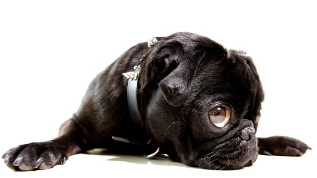 Pug Dog Black