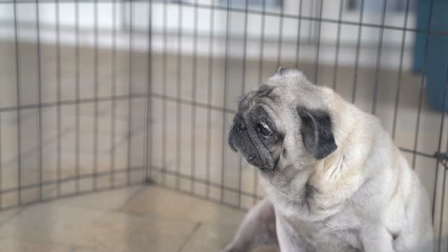 Pug dog inside cage. Sad expression.