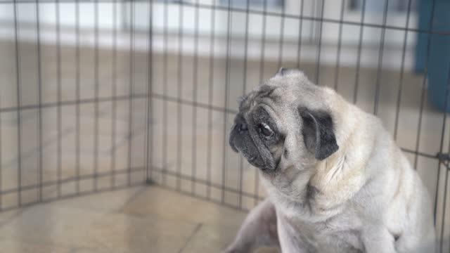Pug dog inside cage. Sad expression. Pug dog inside cage. Sad expression. crate stock videos & royalty-free footage
